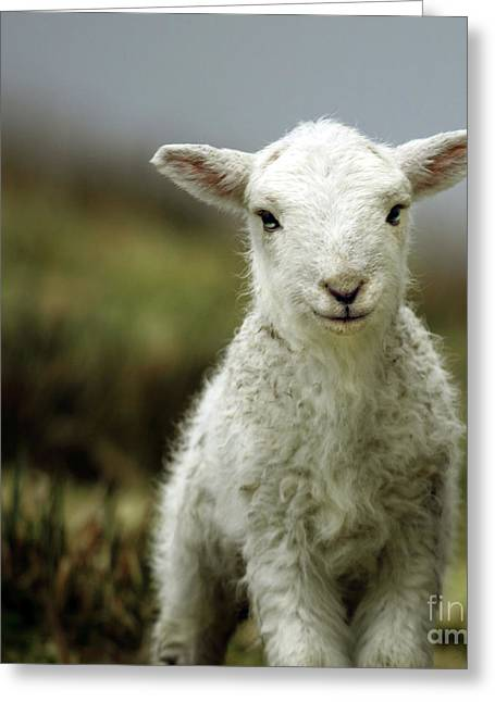 Babies Greeting Cards - The Lamb Greeting Card by Angel  Tarantella