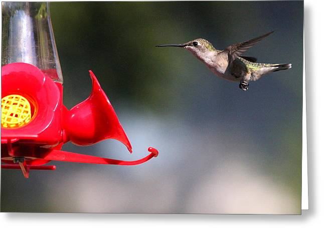 Bird-feeder Greeting Cards - The Landing Greeting Card by Reid Callaway