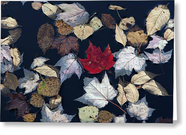 Black Rock Yellow Leaves Water Greeting Cards - The Last Hurrah Greeting Card by Juergen Roth