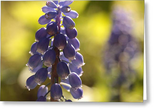Grape Hyacinths Greeting Cards - The Lighter Fantastic Greeting Card by Connie Handscomb