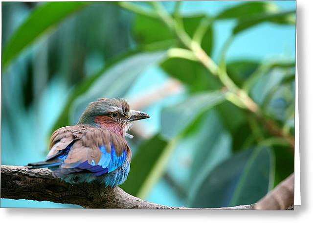 Lilac Greeting Cards - The Lilac Breasted Roller Greeting Card by Karol  Livote