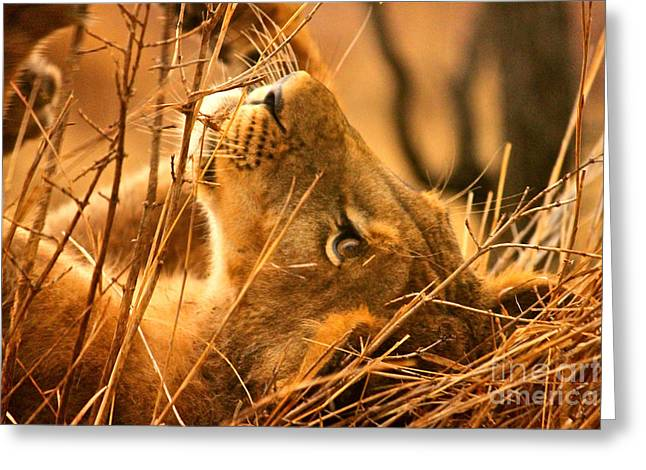 Lioness Greeting Cards - The Lion Muse Greeting Card by Michael Cinnamond