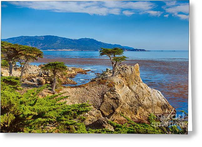 The Lone Cypress Greeting Cards - The Lone Cypress Greeting Card by Mimi Ditchie