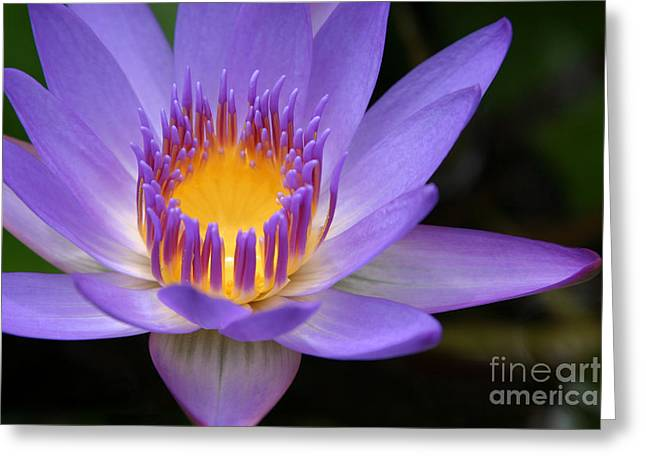 Hawaiian Pond Greeting Cards - The Lotus Flower - Tropical Flowers of Hawaii - Nymphaea Stellata Greeting Card by Sharon Mau