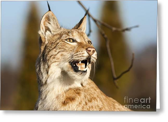 Lynx Rufus Greeting Cards - The Lynx Greeting Card by John Maletski