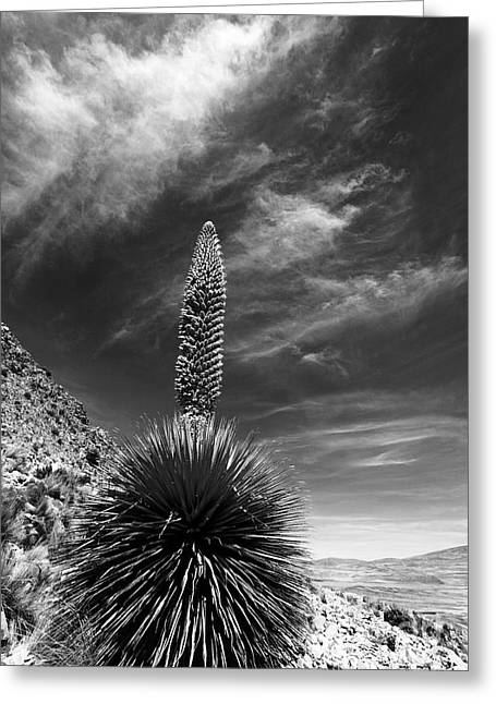 The Majestic Puya Raimondii Plant In Flower Greeting Card by James Brunker