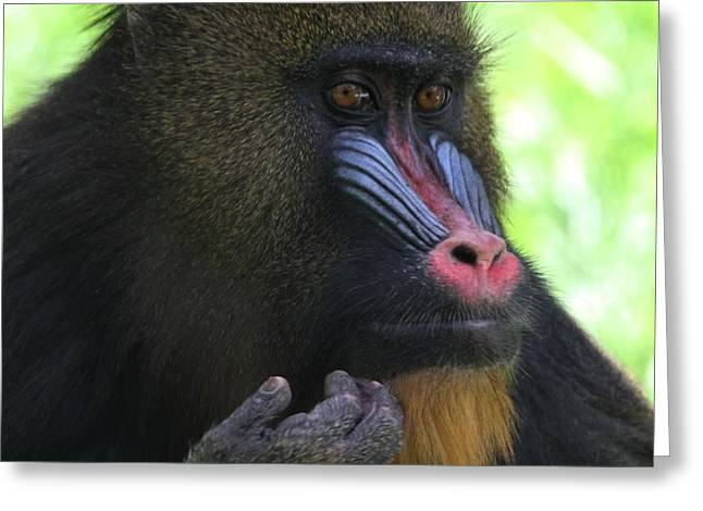 Ape. Great Ape Greeting Cards - The Mandrill Greeting Card by Dan Sproul