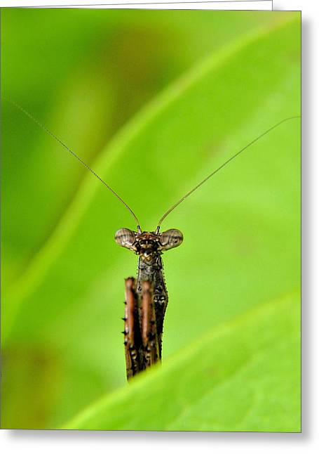 Praying Mantis Greeting Cards - The Mantis Greeting Card by JC Findley