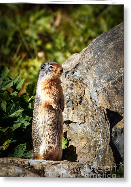 Groundhog Photographs Greeting Cards - The Marmot Greeting Card by Robert Bales