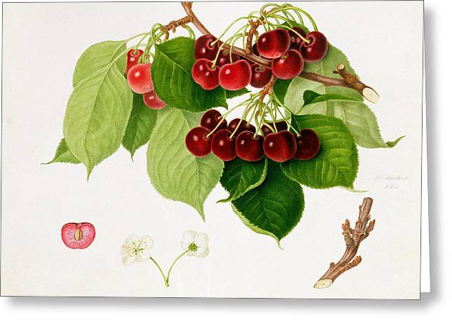 Red Berries Greeting Cards - The May Duke Cherry Greeting Card by William Hooker