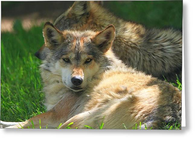 Madre Greeting Cards - The Mexican Wolf Greeting Card by Dan Sproul