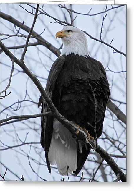 British Columbia Greeting Cards - The mighty Bald Eagle perched on a branch in Brackendale B.C  Greeting Card by Pierre Leclerc Photography