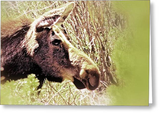 Wyoming Wildlife Greeting Cards - The Moose Greeting Card by Dan Sproul