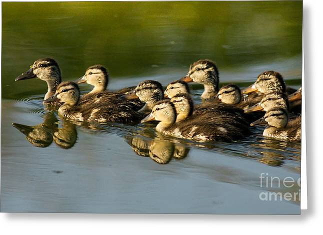 Ducklings Greeting Cards - The Morning Rush Greeting Card by Robert Frederick