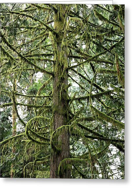 Mossy Trees Greeting Cards - The Mossy Tree Greeting Card by Carol Groenen