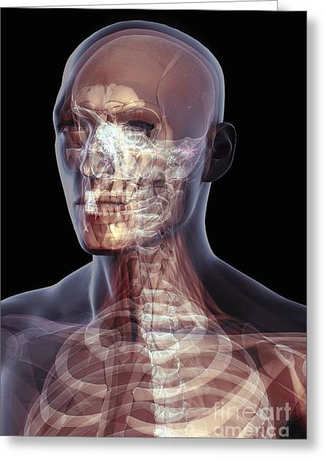 Skeletal Muscle Greeting Cards - The Muscles Of The Head And Neck Greeting Card by Science Picture Co