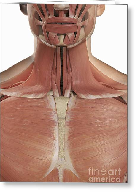 Skeletal Muscle Greeting Cards - The Muscles Of The Upper Chest And Neck Greeting Card by Science Picture Co