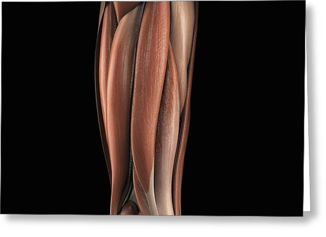 Skeletal Muscle Greeting Cards - The Muscles Of The Upper Leg Left Rear Greeting Card by Science Picture Co