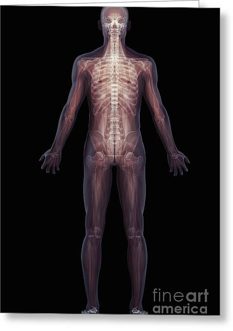Rib Cage Greeting Cards - The Musculoskeletal System Rear Greeting Card by Science Picture Co