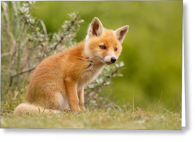 Fox Greeting Cards - The New Kit ...Curious Red Fox Cub Greeting Card by Roeselien Raimond