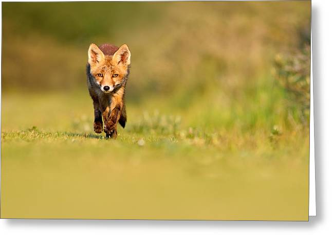 Room Decoration Greeting Cards - The New Kit on the Grass - Red Fox Cub Greeting Card by Roeselien Raimond