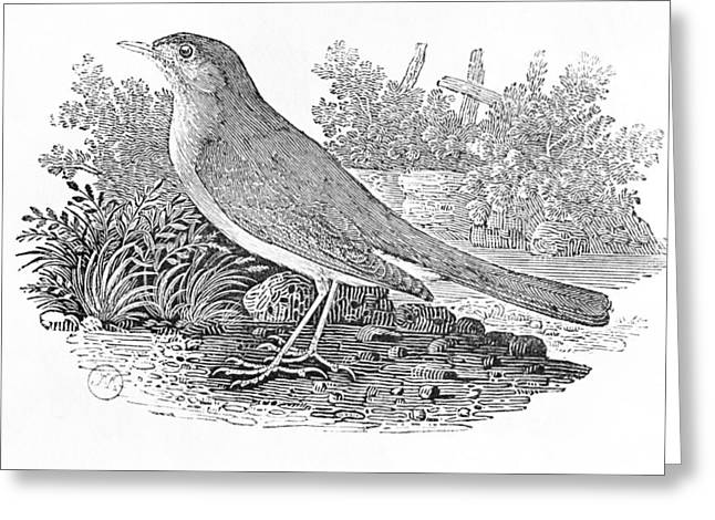 Bird Prints Greeting Cards - The Nightingale Luscinia Megarhynchos From The History Of British Birds Volume I, Pub. 1797 Wood Greeting Card by Thomas Bewick
