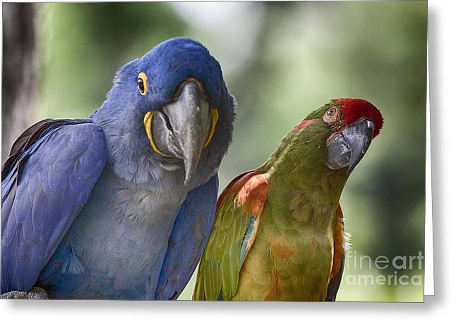Blue Macaws Greeting Cards - The Odd Couple V5 Greeting Card by Douglas Barnard