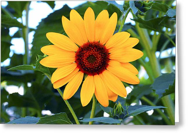 Onyx Greeting Cards - The Onyx Store Sunflower Greeting Card by Barbara Snyder