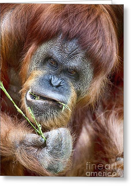Orangutans Greeting Cards - The Orangutan Album V2 Greeting Card by Douglas Barnard