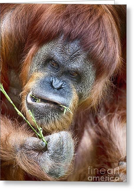 Orangutan Greeting Cards - The Orangutan Album V2 Greeting Card by Douglas Barnard