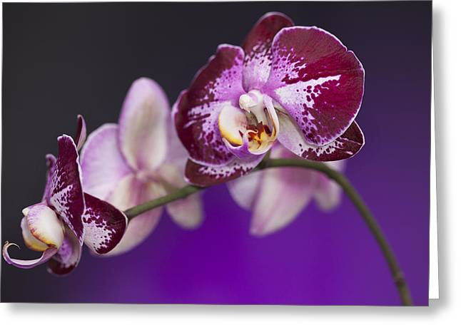 Lavendar Greeting Cards - The Orchid Watches Greeting Card by Jon Glaser