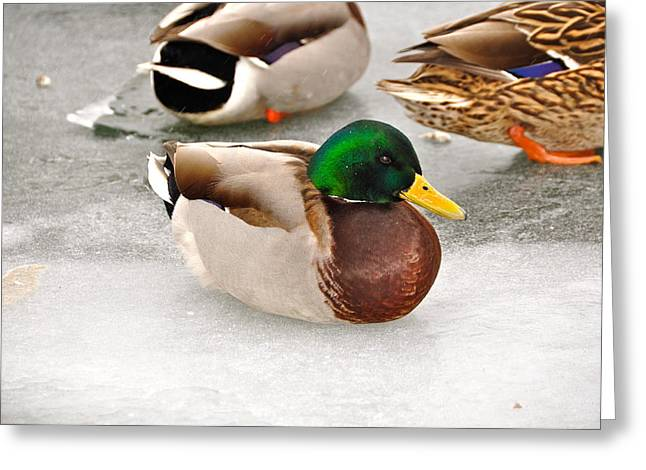 Flocks Of Ducks Greeting Cards - The Outcast Greeting Card by Catherine Renzini