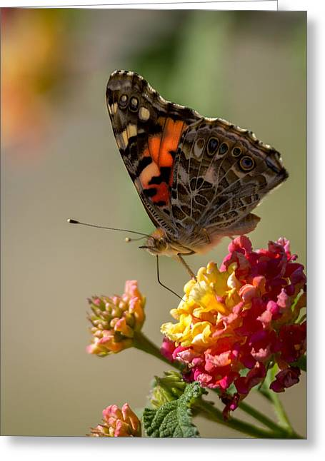 Painted Lady Butterflies Greeting Cards - The Painted Lady Greeting Card by Ernie Echols