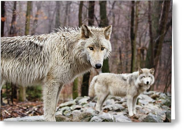 Hairy Wolf Greeting Cards - The Pairing Greeting Card by Jim DeLillo