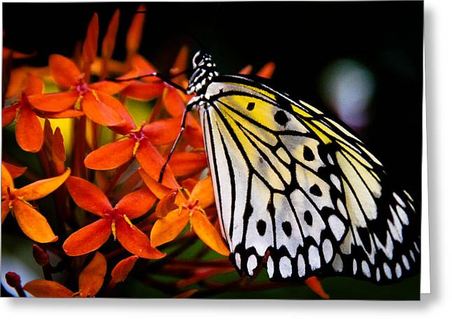 Rice Paper Greeting Cards - The Paper Kite Butterfly Greeting Card by David Patterson