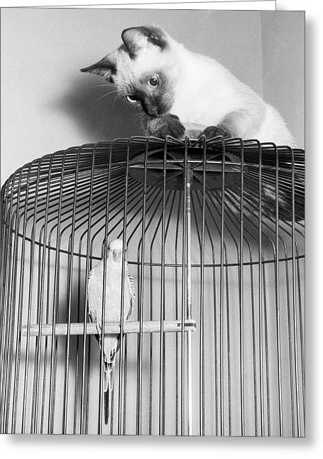 The Parakeet And The Cat Greeting Card by Underwood Archives