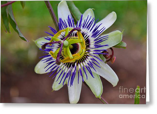 Passionflower Greeting Cards - The Passion Flower Garden Greeting Card by Janice Rae Pariza