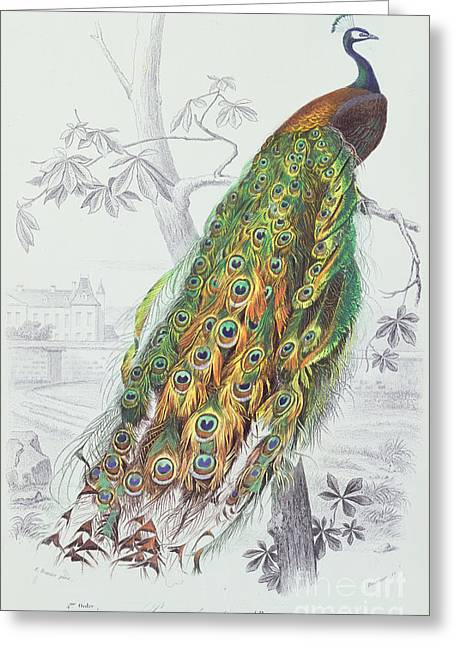 Tails Paintings Greeting Cards - The Peacock Greeting Card by A Fournier