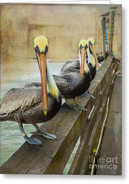 Water Fowl Greeting Cards - The Pelican Gang Greeting Card by Steven Reed