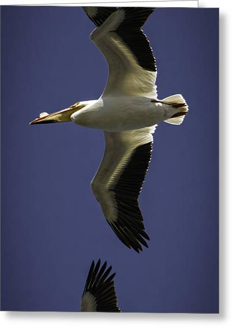 Flying White Pelicans Greeting Cards - The Pelican Line Up Greeting Card by Thomas Young