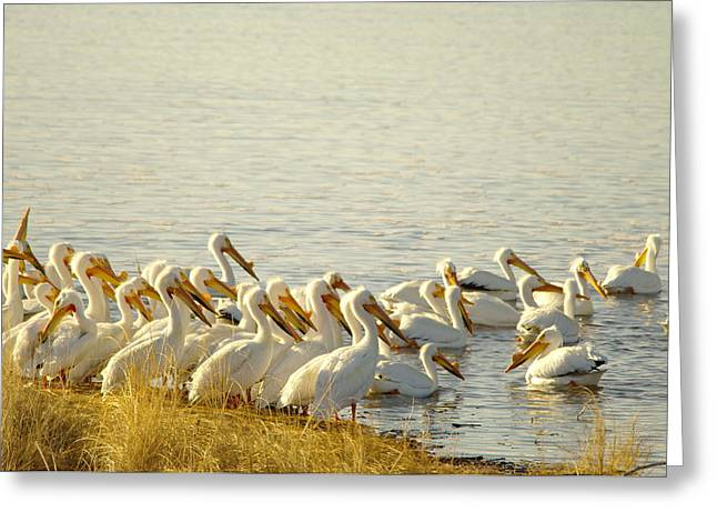 Migratory Bird Greeting Cards - The Pelicans Of Medicine Lake Greeting Card by Jeff  Swan