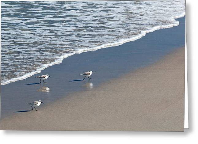 Ocean Shore Greeting Cards - The Pied Sandpiper Greeting Card by Michelle Wiarda