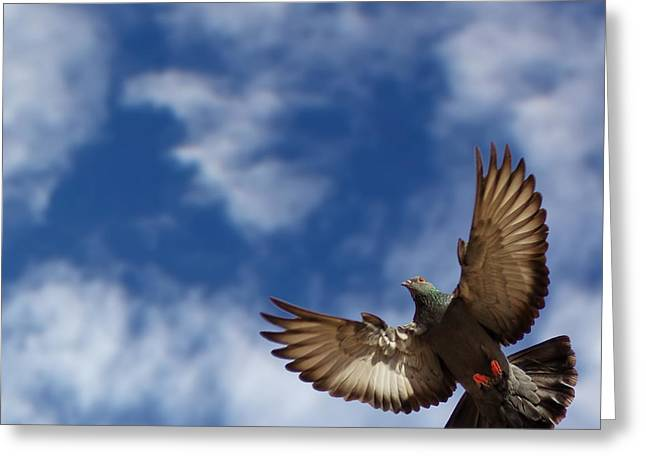 Aim High Greeting Cards - The pigeon in flight on a background of the blue sky Greeting Card by MQ Naufal