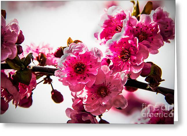 Picturesqueness Greeting Cards - The Pink Flowering Tree Greeting Card by Robert Bales
