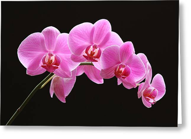 Orchid Artwork Greeting Cards - The Pink Orchid Greeting Card by Juergen Roth