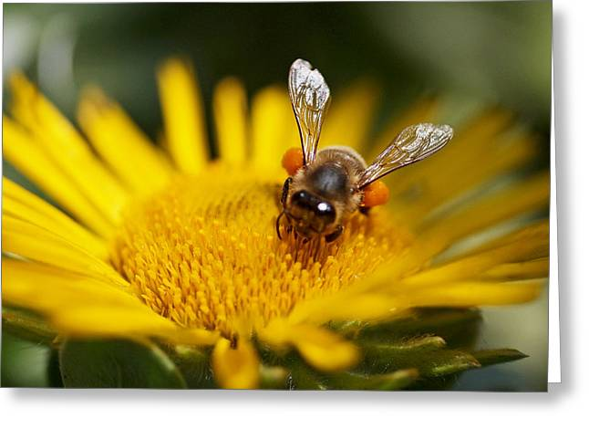 Honey Bee Greeting Cards - The Pollinator Greeting Card by Rona Black