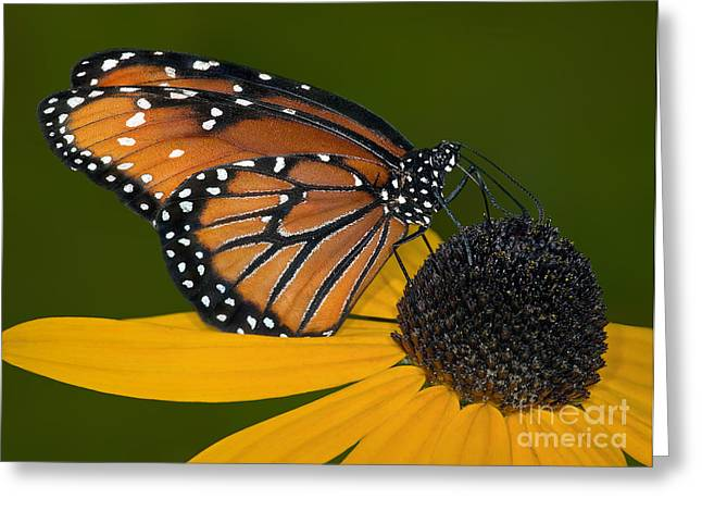 Petals Greeting Cards - The Pollinator Greeting Card by Susan Candelario
