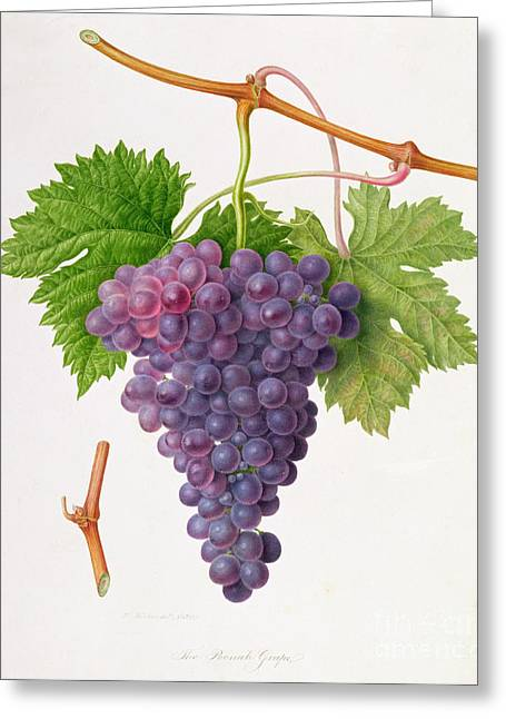 Grape Vines Paintings Greeting Cards - The Poonah Grape Greeting Card by William Hooker