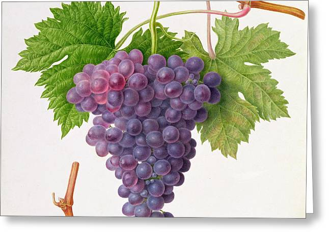 The Poonah Grape Greeting Card by William Hooker