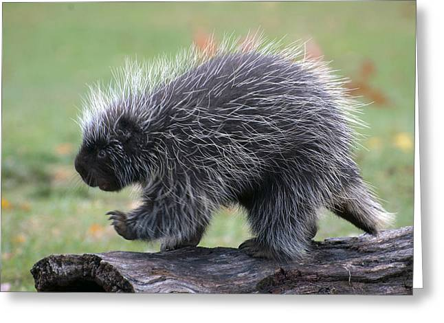 Cheryl Cencich Greeting Cards - The porcupine walk Greeting Card by Cheryl Cencich